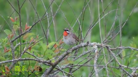 野生红喉歌鸲唱歌,鸣声清脆动听,鸟中小歌手!