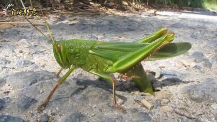 近距离观察蝗虫产卵,太吓人了在路上就钻个洞产卵