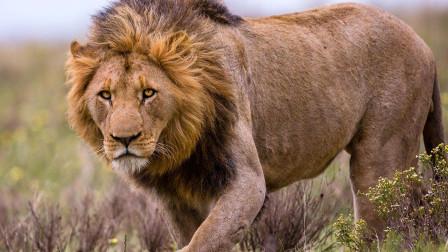 长颈鹿将狮子活活踩死, 这是我见过死得最惨最憋屈的狮子了