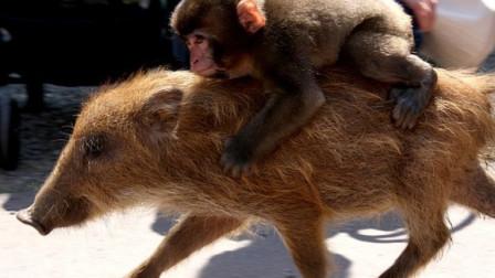 非洲人训练猴子抓野猪,这画面笑得我肚子疼,镜头拍下全过程
