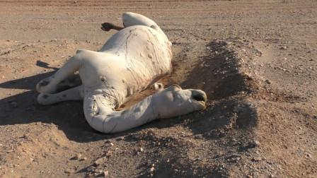 沙漠的骆驼渴死后,为啥不能让人碰?原因让人意想不到!