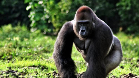 12星座最害怕哪种动物?我最怕大猩猩!