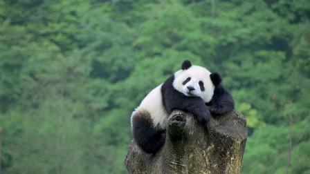 """史上第一只被""""退货""""的大熊猫,外国人含泪送回,中国人笑出内伤"""