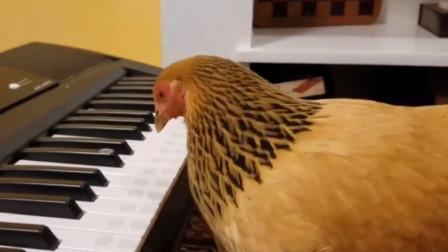 我家的公鸡会弹鸡你太美哦!