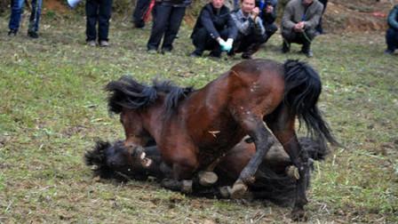 公马成年后第一次偶遇母马,场面顿时不受控制,镜头记录全过程