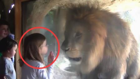 小女孩隔着玻璃亲吻狮子,未料狮子立马失控,镜头拍下全过程!