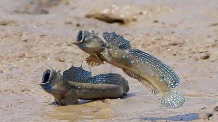 世界上最倒霉的鱼,进化3亿年成功上岸,却不料馋哭中国吃货!