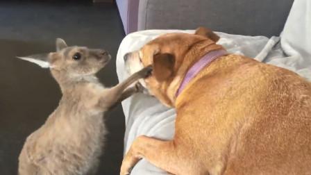 袋鼠去找狗子打架,对着狗子就是一顿乱踢,接下来请憋住别笑!