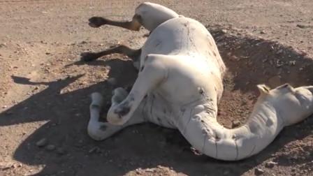 为什么老人说:沙漠里死去的骆驼不能碰,看完长见识了!