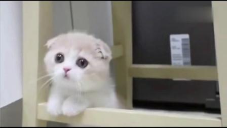 从来不敢带自家的猫出去见人,太可爱怕被偷!