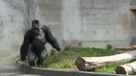 管理员自从给猩猩配了母猩猩,从此就没消停过,网友:这货没救了