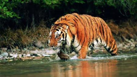 鳄鱼碰到了老虎,竟被老虎一口毙命,镜头记录下这一幕