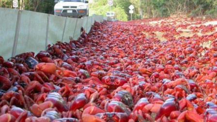 古巴又一动物泛滥成灾,在世上没有天敌?声称中国吃货也帮不了