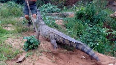 男子发现地上有鳄鱼,用棍子捅了上去,鳄鱼暴脾气忍不了!