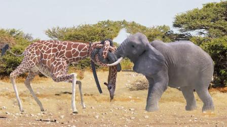 史上最壮观的战争,长颈鹿对战大象,招招致命,打的难舍难分