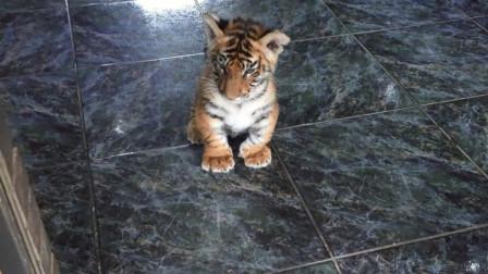 小老虎跟着主人出门溜达,结果发现门口有狗狗,接下来忍住别笑