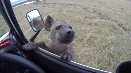 一条楚楚可怜的鬣狗向人求助,男子刚想下车,下一秒意外发生了!