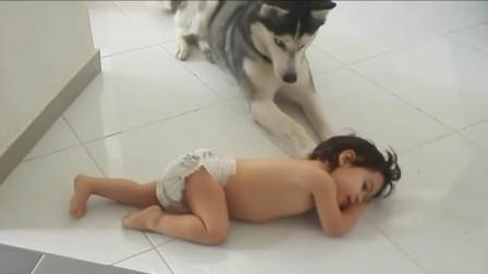 宝宝闹脾气躺在地板上,接下来哈士奇的反应一旁爸妈都笑翻了