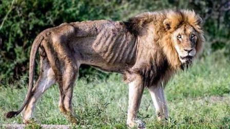 狮王瘦得皮包骨头,但为最后的尊严,它选择了战死!