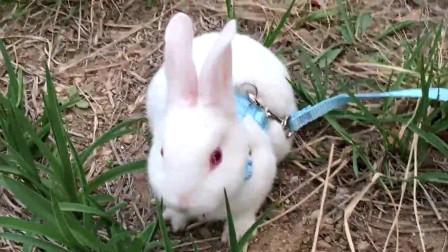 草食兔子的自助餐时间到了,好乖哦