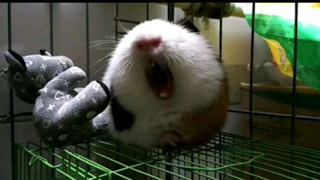 【豚鼠】【荷兰猪】卖萌就够了~(拜托你一定要点进来看哈哈哈)