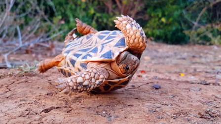 乌龟不小心翻倒在地,另一只乌龟经过,想不到的画面出现了!