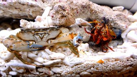 海中拳王雀尾螳螂虾,好看又好斗,3拳打爆路过的鱼虾蟹!