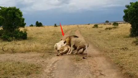 母狮正在休息,雄狮悄悄从后面突然袭击,镜头拍下惊险一刻