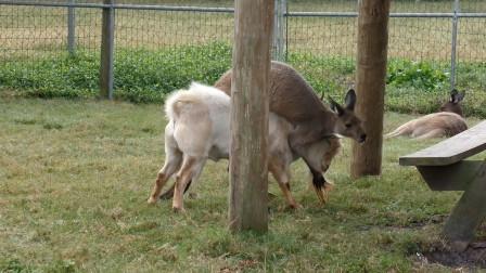 袋鼠想要爬到山羊背上,用尽全力,山羊表示嫌弃极了!