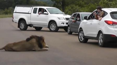 游客作死将头伸出车外,给狮子拍照,镜头记录惊险一刻!