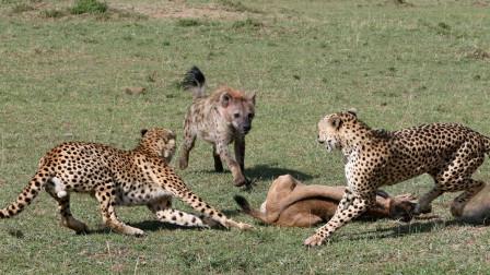 鬣狗竟抢豹子美食,本以为豹子会强势反击,却不料差点被鬣狗分尸