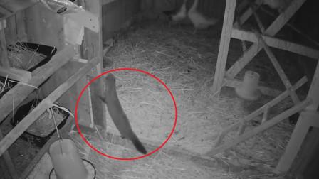 黄鼠狼最怕什么?它的天敌是我们最常见的家禽!见了立马就逃