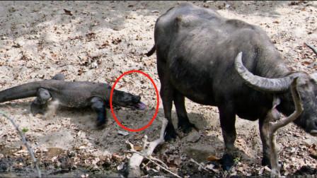 实拍科莫多巨蜥捕杀水牛,手段残忍,过程让人难以想象