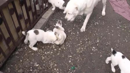 小奶狗打架下死口,咬的对方嗷嗷叫,狗妈心疼让主人帮忙