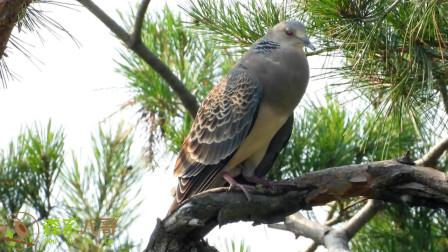 山鸽子又称山斑鸠,它的叫声你听过吗?