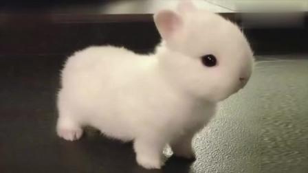小兔子在客厅乱窜看呆了主人,主人:我养的是哈士奇还是兔子?