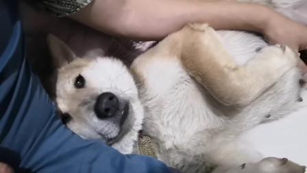 狗狗都当妈妈了,还爱黏着主人不放,真的太可爱了