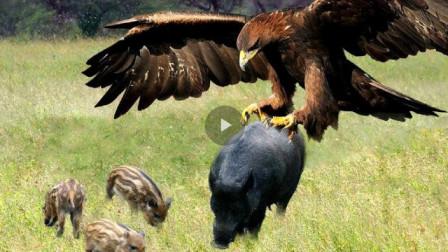 野猪被老鹰抓住。可老鹰准备升空时却尴尬了,镜头拍下搞笑一幕!