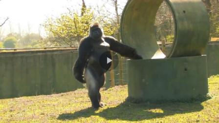 饲养员走路被猩猩学会,之后每天都要这么走,镜头记录全过程!