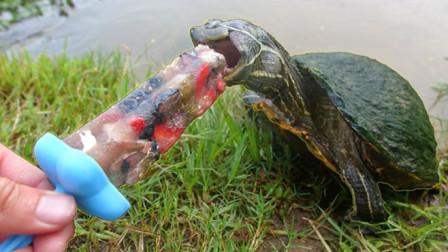 男子给乌龟吃冰棍,一口咬下去,下一秒千万憋住别笑!