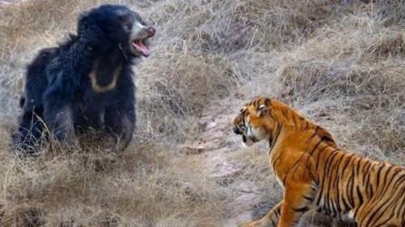 老虎饿得精神恍惚,误把黑熊当山羊,猛扑靠近的瞬间吓懵了