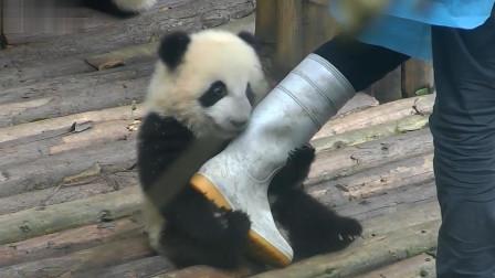 熊猫宝宝抱住饲养员的腿就不撒口了,太可爱了