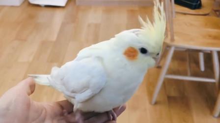 家里的鹦鹉太黏人,这只小鹦鹉竟然随叫随到