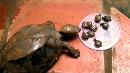 乌龟对蜗牛真是情有独钟,特别是锯缘,好吃到停不下来。