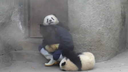 为了一口吃的,熊猫使出了杀手锏,太不容易了