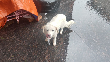 超强台风来袭!有福气的狗待屋里睡觉,没福气的狗在风雨里飘摇
