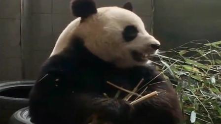 熊猫:金虎:聪聪熊你别说话,本熊吃竹子都卡顿了