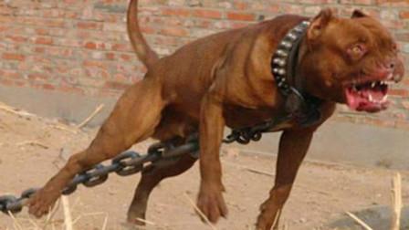 """世界第一""""暴犬""""!3分钟能撕碎250斤的高加索,下场很可怕"""