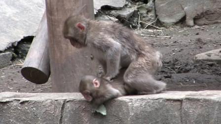 小猴子被大猴子残忍扔进水池,太可怜了,只是因为不是自己的孩子