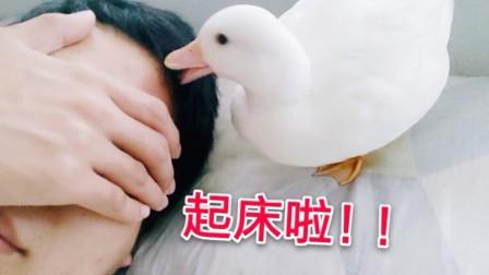 【柯尔鸭】每天早上都来叫我起床!养个鸭好烦鸭~